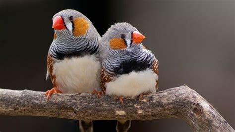 best types of finches for pets what are good finch birds