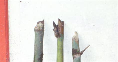 Bibit Bambu Petung bibit bambu yudha dan kebun bibit bambu