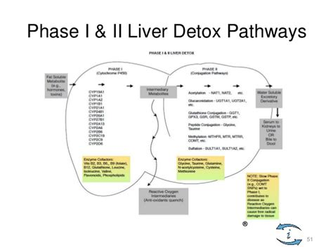 How To Support Phase 2 Liver Detox by Satammastercynsterling