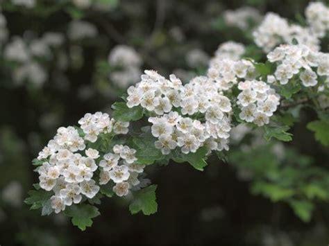 fiori biancospino il biancospino di umberto saba the whitethorn