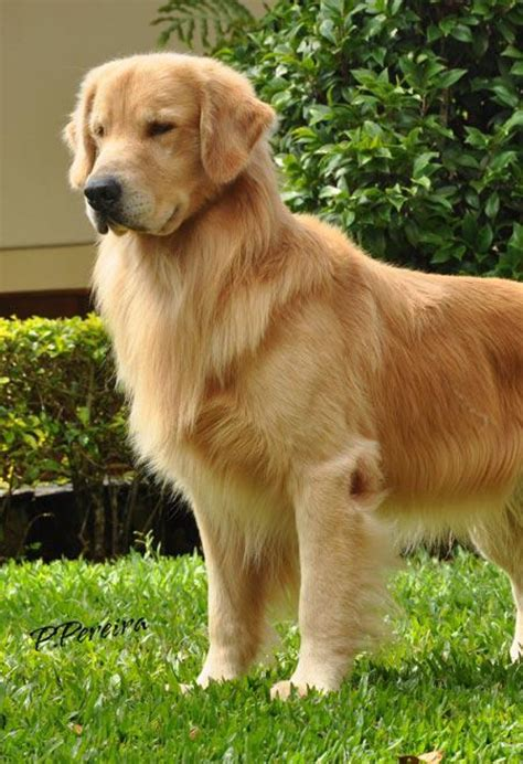 canil golden retriever golden retriever canil sant sol filhotes golden retriever sp