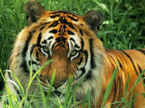 imagenes de animales jpg national geographic images feline wallpaper hd wallpaper