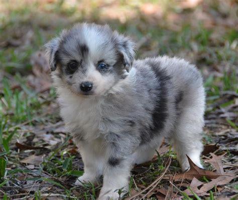 mini aussiedoodle miniature aussiedoodle omg dogs