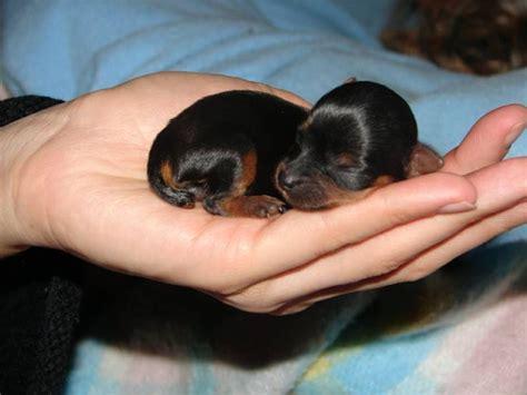 newborn yorkies yorkie newborn now that is just yorkies yorkie and newborns