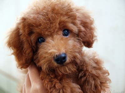 brown poodle puppy brown poodle puppy image 64262 on favim