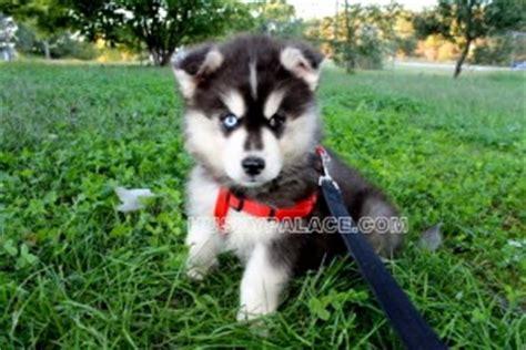 siberian husky puppies for sale in sc siberian husky alaskan klee akk siberian husky doberman pinscher companion