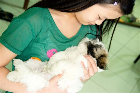 how to take care of a shih tzu puppy 3 ways to take care of a shih tzu wikihow