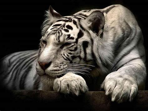 white tiger pictures wallpapers white tiger wallpapers