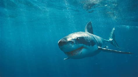great white shark hd wallpapers high quality