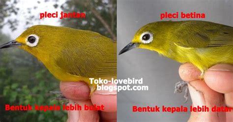 Benelux Primus Pakan Burung Kenari kupas tuntas ciri perbedaan pleci jantan dan betina