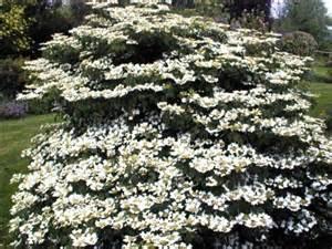 white flower shrubs white flowering shrub trees and shrubs