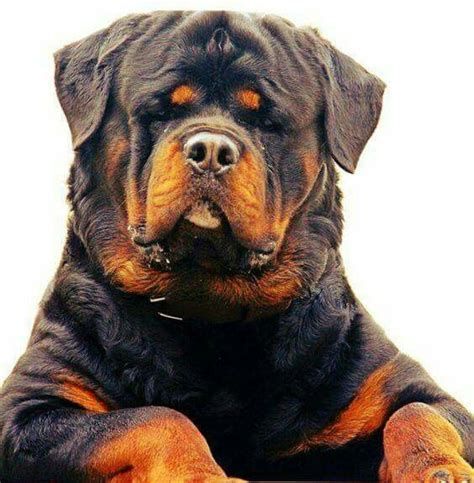 tough boy names for rottweilers 130 best images about dogs on names harlequin great danes and brindle