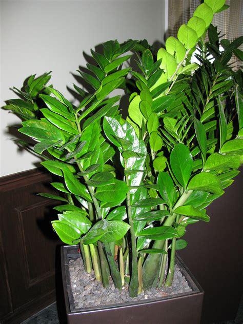 zz plant zamioculcas zamiifolia article