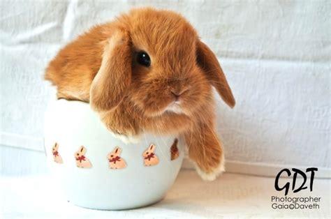 coniglio nano testa di alimentazione ariete nano fulvo la stalla dei conigli allevamento e