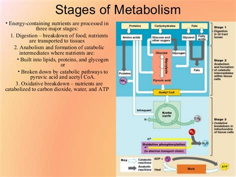 protein metabolism biochemistry ii protein metabolism of amino acids new