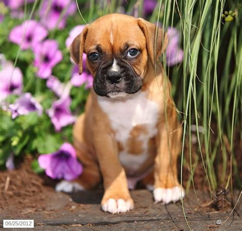 pocket boxer puppies for sale 1000 ideas about beagle pups for sale on beagle dogs for sale dogs for