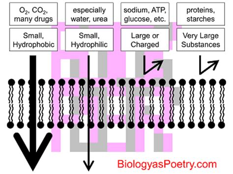 selective permeability biology  poetry