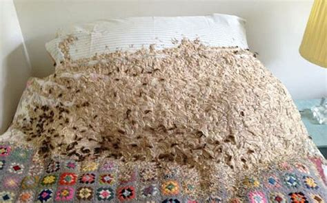 Giant Wasps Nest Invades Spare Bedroom Telegraph