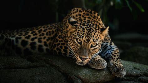 imagenes de jaguar hd jaguar wallpaper 2560x1440 120755 wallpaperup