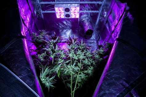 black light for growing weed how silicon valley is rushing to cash in on cannabis wired