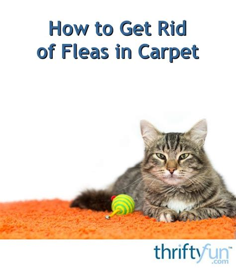 how to get rid of fleas in your bed how to get rid of fleas in carpet thriftyfun