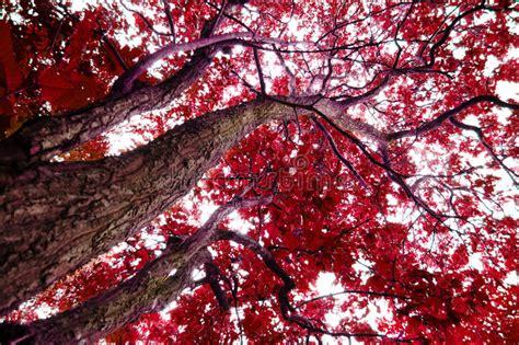 Baum Mit Roten Bl Ttern 136 by B 228 Ume Mit Roten Bl 228 Ttern Stockbild Bild Hell Sch 246 N
