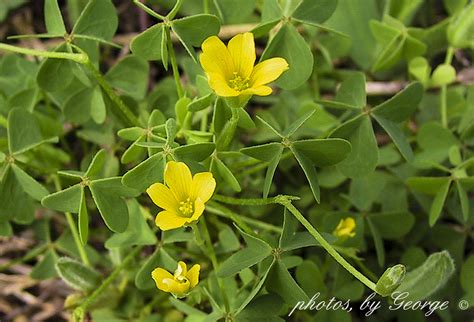 quot what s blooming now quot common yellow oxalis yellow wood