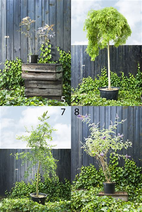 Bomen In Pot Op Terras by Kleine Bomen Deze Kunnen Prima In Een Pot Tuinieren Nl