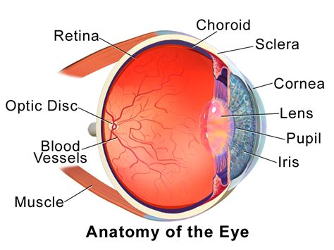 sectional anatomy of the eye choroid wikipedia