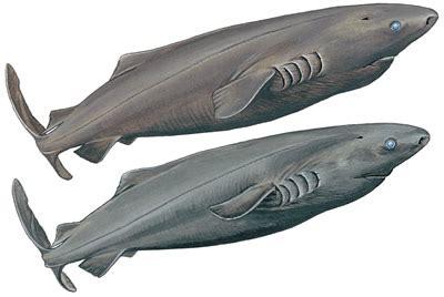 image gallery sleeper sharks