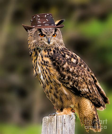 Home Decor Owl Eurasian Eagle Owl With A Cowboy Hat Photograph By Les Palenik