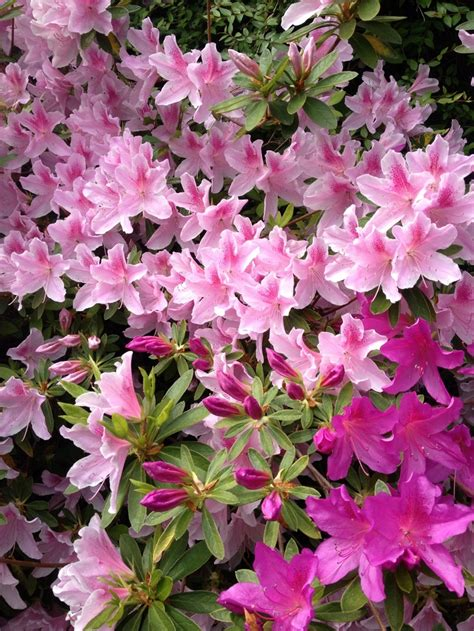 azalea colors 25 best ideas about azalea color on azaleas