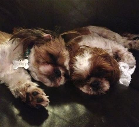 shih tzu grown up shih tzu breed information and pictures