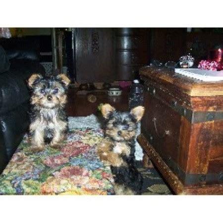 yorkie breeders ontario bordermount yorkies terrier breeder in niagara