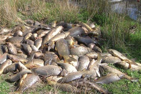 aussie deer gear australia plans to eradicate carp with herpes grindtv