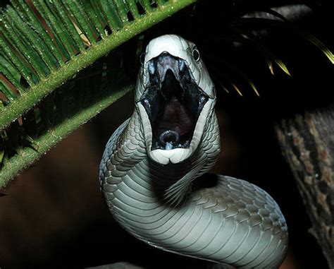 black mamba snake bites life cycle appearance and more harding man killed by 1 5 metre black mamba video of