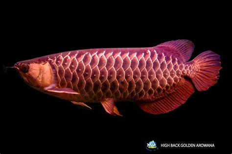 Arwana Golden temporary for wan hu arowana division of qian hu corp