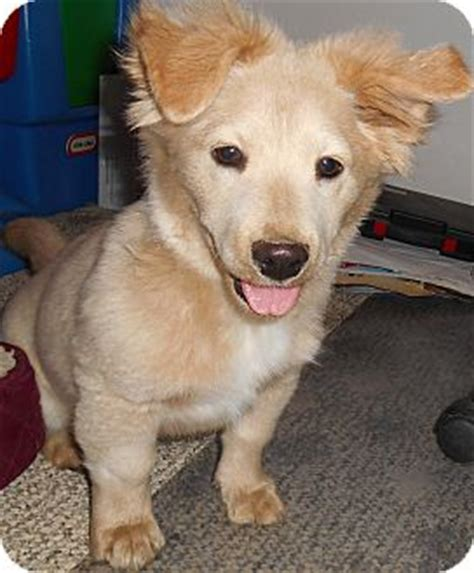 golden retriever puppies richmond va chantelle adopted puppy richmond va corgi golden retriever mix
