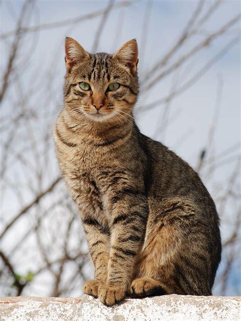 Tabby Cat Wikipedia   tabby cat wikipedia