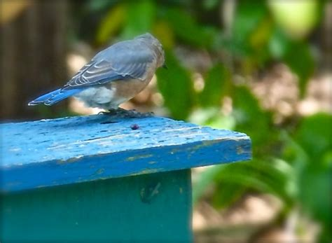 tips for attracting bluebirds deb s garden deb s