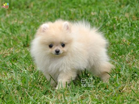 what of is a pomeranian what of is boo the pomeranian 28 images pomeranian boo talent pomeranian boo house