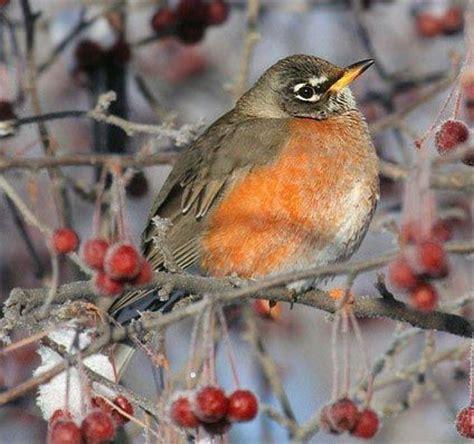 american robin adult female reddish orange breast sides