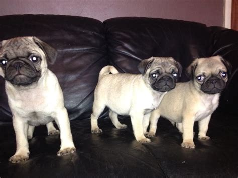 pug cardiff pug puppies for sale cardiff cardiff pets4homes