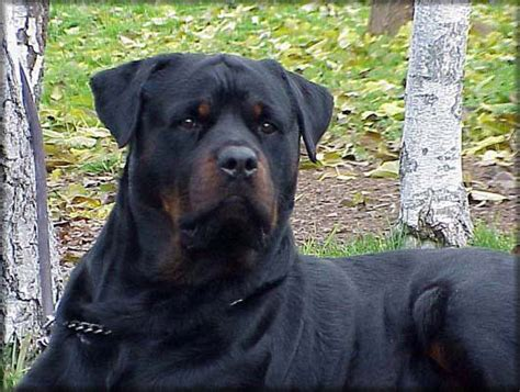 all black rottweilers black gepeto rottweiler from romania rottweilers rottweilers