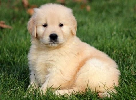 golden retriever puppy wanted puppy wanted westhill aberdeenshire pets4homes