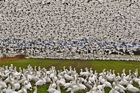 layout boat for geese show me snow geese