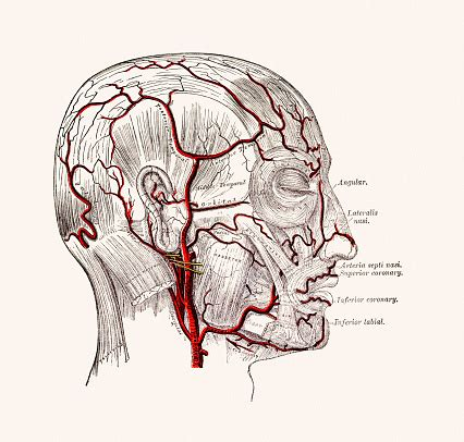 arteria mascellare interna 頭皮の若返りで薄毛予防 今日から出来る方法を伝授 aga大学