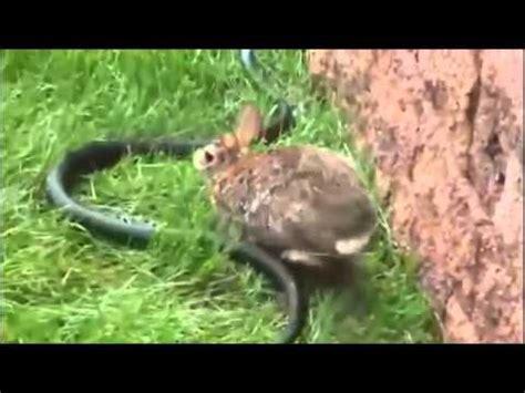 imagenes de animales con sus crias mam 225 conejo salva a sus crias youtube