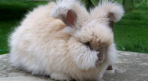 coniglio da appartamento coniglio d angora adorabile batuffolo peloso petpassion
