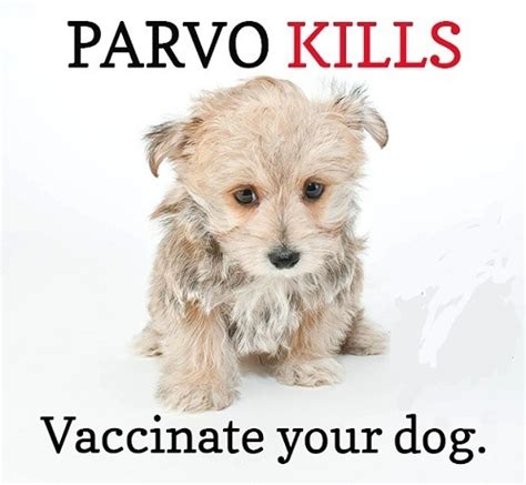 parvo in puppies survival rate what are the most common diseases in dogs thedoghealth